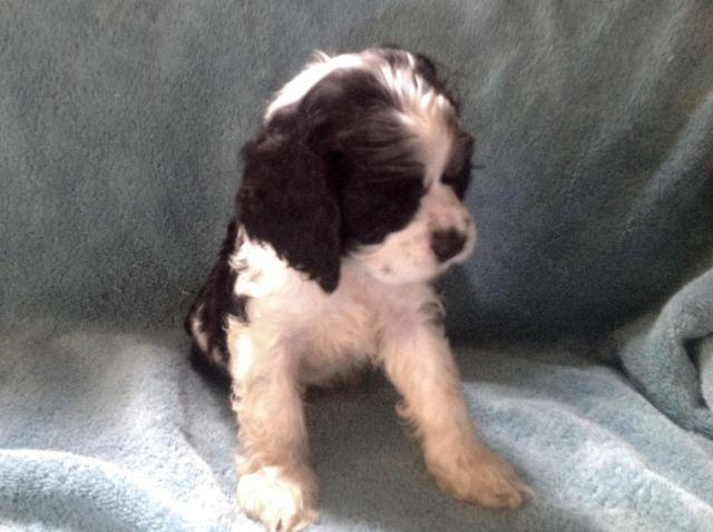 Cocker Spaniel Puppies For Sale In Virginia Classifieds Buy And