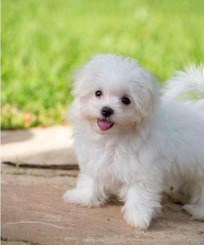 maltese for sale in Connecticut Classifieds & Buy and Sell