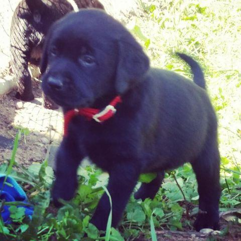 Champion sired English lab puppies