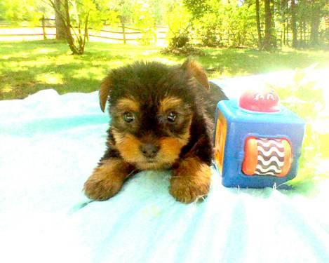 Championship Bloodline Yorkshire Terrier Puppies for Sale in