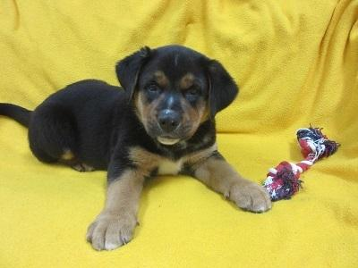 Chandler Bernese Mountain Dog Baby Adoption Rescue For