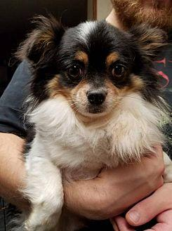 Charlie Brown Chihuahua Adult Male