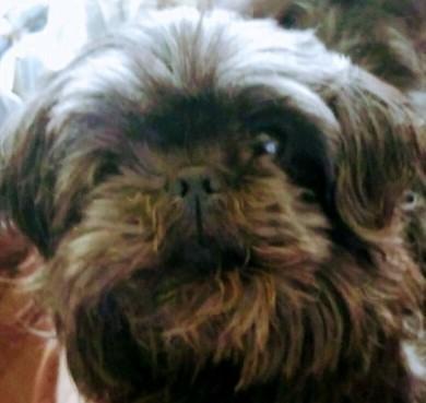 Charlie Shih Tzu Senior Adoption Rescue For Sale In Louisville