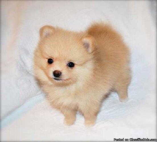 male pomeranian for sale charming female and male pomeranian puppies for sale in 8107