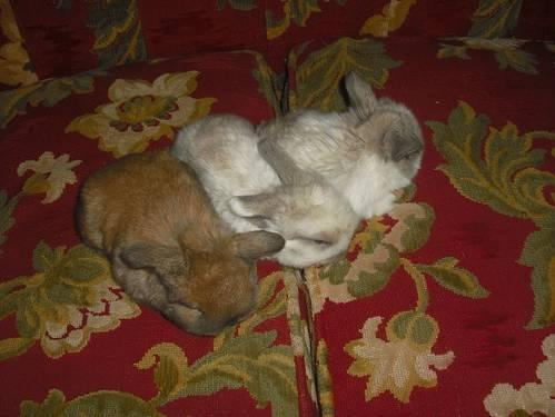 Charming Holland Lop Rabbits Bunnies sale, South