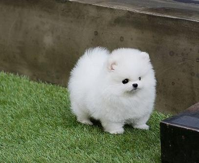Teacup Pomeranian Puppies For Sale In New York Classifieds Buy And