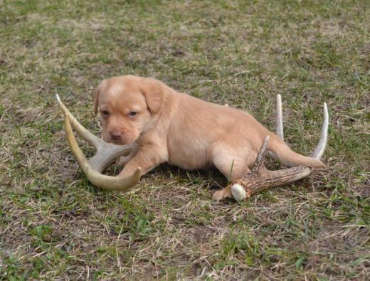 Teacup Yorkie Puppies For Sale In Grantsburg Wisconsin Classifieds