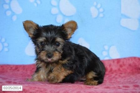 cheap yorkie puppies cheap teacup yorkie puppies for sale in lake worth 9973