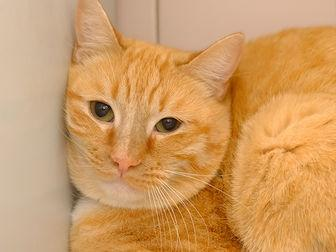 CHEETO Domestic Shorthair Adult Male