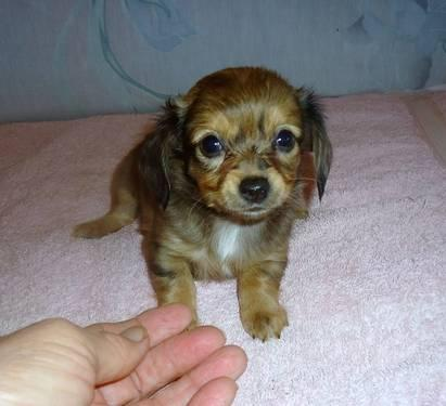 Wired Hair Chiweenies For Sale - WIRE Center •