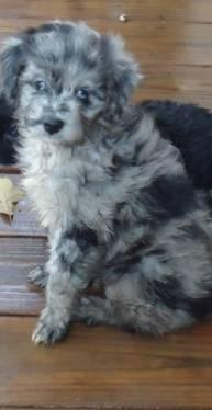 Cher, beautiful mini Aussiedoodle, 10 weeks old REDUCED