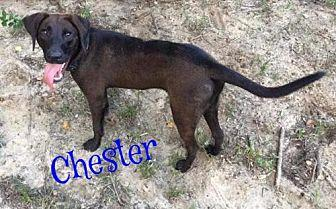 Chester Labrador Retriever Male