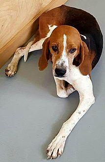 Cheyenne Foxhound Adult Female