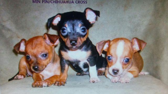 Min Pin Chihuahua Mix Puppies