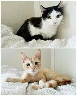 Chicken & Waffel Domestic Shorthair Young Male