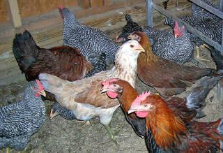 Chickens for Sale - Started Pullets - Heritage Breeds &