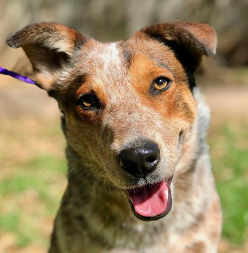 Jr - Australian Cattle Dog/Blue Heeler   Humane Society of