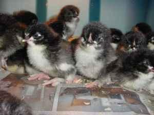 Chicks...Black Copper Marans,Black Australorps & Rhode
