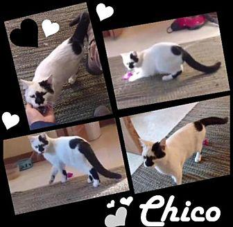Chico Domestic Shorthair Kitten Male