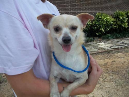 Chihuahua - 49771 - Small - Adult - Female - Dog