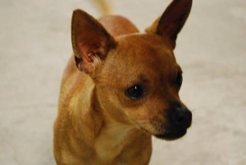 Chihuahua - Ace - Small - Young - Male - Dog