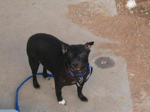 Chihuahua - Addison - Small - Adult - Female - Dog