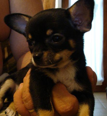 Chihuahua AKC Puppies