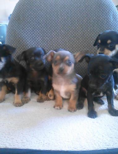 English Bulldog Puppies For Sale In Amarillo Texas Classifieds