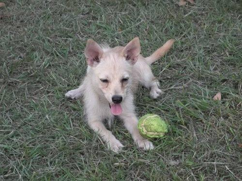 Chihuahua - Andrea - Small - Young - Female - Dog