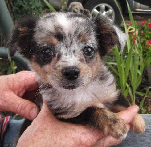 chihuahua blue merle male puppy long haired aca reg shots