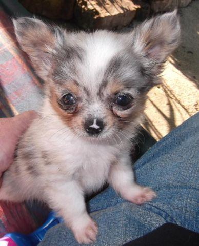 chihuahua blue merle male puppy long haired aca shots