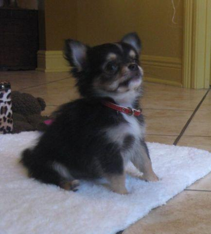 Chihuahua Boo long hair 10 wks.