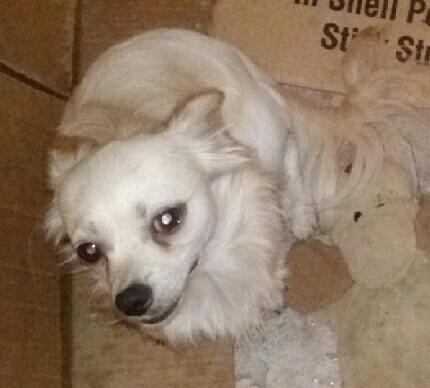 Chihuahua~boston terrier~dachshund mix choose me i'm GRRREAT for sale ...