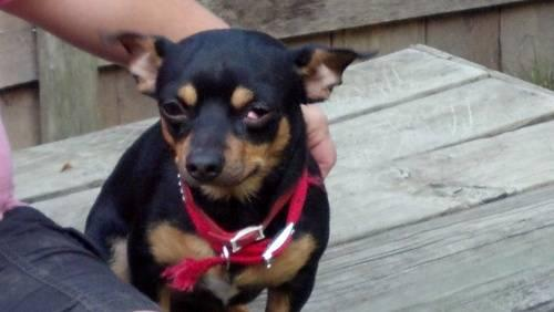 Chihuahua - Cheech - Small - Adult - Male - Dog