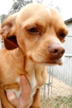Chihuahua - Chico - Small - Adult - Male - Dog