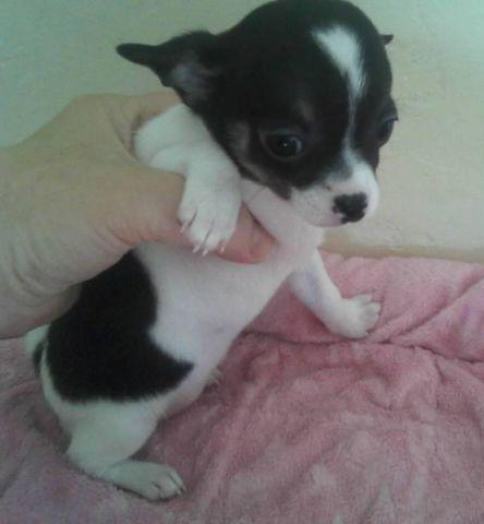 Week Old Chorkie Puppy Chihuahua Yorkie Hybrid The Mother Is | Dog ...