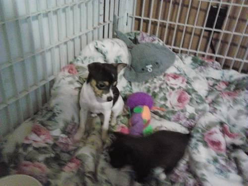 Chihuahua CKC for Sale in Florence, South Carolina