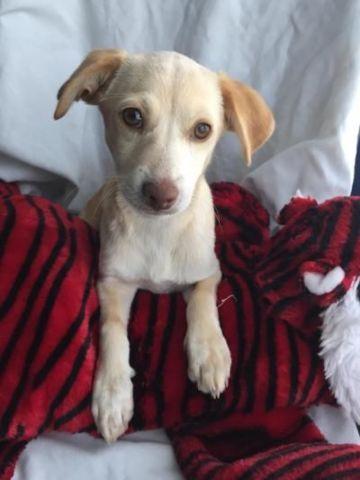 Chihuahua Corgi Mix Puppies For Adoption 12 Weeks Old