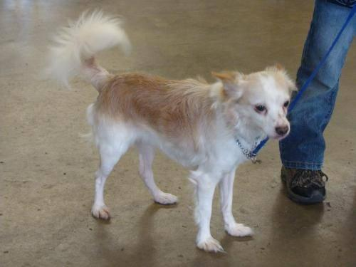 Chihuahua - Cujo - Small - Adult - Male - Dog