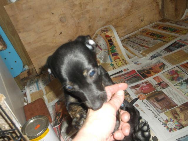 Chihuahua Dachshund Chiweenie Puppies Shots Wormed Paper Trained For
