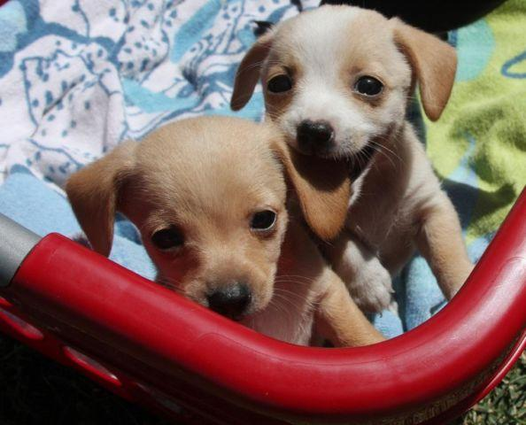 Chiweenie For Sale In California Classifieds Buy And Sell In