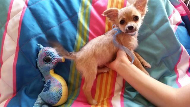 Chihuahua F puppy, Long Haired, 11 wks