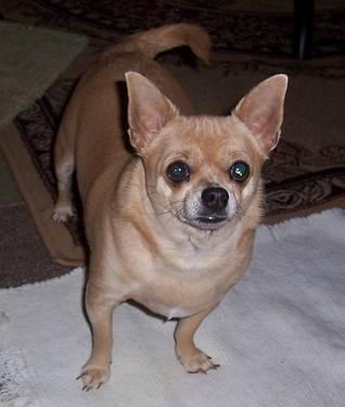 Chihuahua Female For Adoption/Very Loving 3 Years Old
