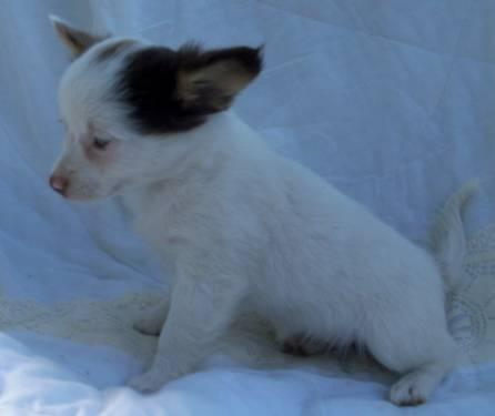chihuahua female puppy long haired blue eyes aca reg