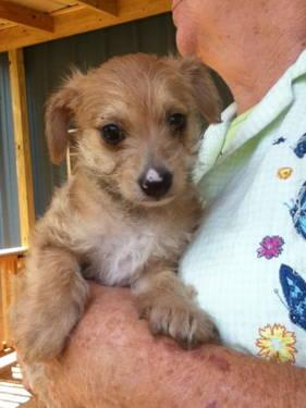 Chihuahua - Foxy - Small - Baby - Female - Dog