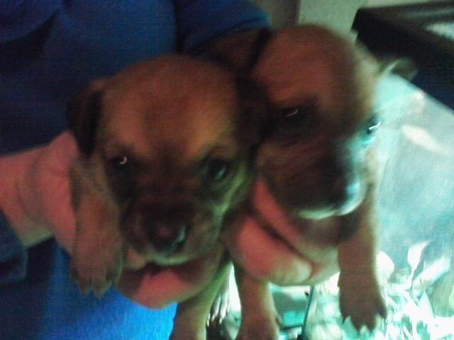 Chihuahua German Shepard Mix For Sale In Springfield Massachusetts