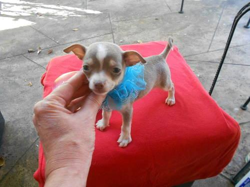 CHIHUAHUA - GORGEOUS BLUE TRI-COLOR