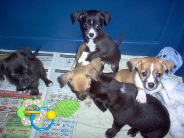 Chihuahua-Jack Russell mix puppies for Sale in Mayport ...