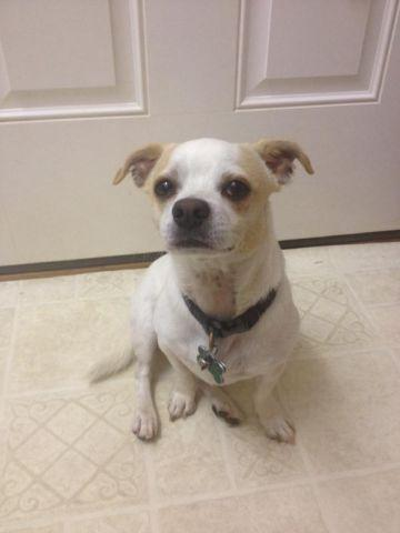 chihuahua jack terrier mix for sale chihuahua jack russell terrier mix for sale for sale in 2032