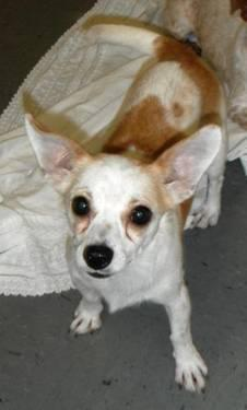 Chihuahua - Jax - Small - Adult - Male - Dog